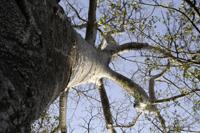 Baobab tortueux